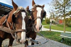 Caballos de carro en la isla de Herrenchiemsee Imagen de archivo libre de regalías