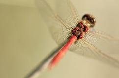 Caballos de fuerza de la libélula detrás de las alas Imagen de archivo