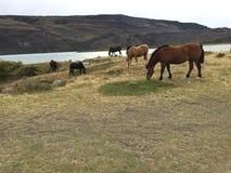 Caballos de granja en praderas de la Patagonia fotografía de archivo libre de regalías