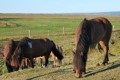 Caballos de granja islandeses imagen de archivo