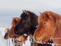Caballos de la isla en el invierno imagenes de archivo