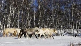 Caballos de la presa del abedul de la nieve del invierno Fotos de archivo