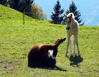 Caballos de la raza de Haflinger en St Catarine, el Tirol del sur, Italia imágenes de archivo libres de regalías