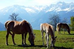 Caballos de la raza de Haflinger en St Catarine, el Tirol del sur, Italia imagen de archivo