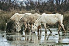 Caballos de los humedales Fotografía de archivo