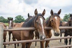 Caballos de montar a caballo Fotos de archivo libres de regalías