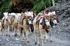 Caballos de paquete en el Himalaya Fotografía de archivo libre de regalías