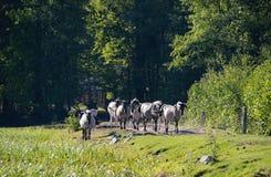Caballos de Semi-horsed Tarpany en el río de Biebrza Foto de archivo libre de regalías