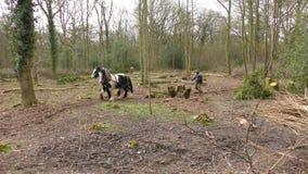 Caballos de trabajo de la silvicultura almacen de metraje de vídeo