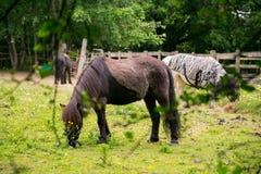 Caballos del bosque de Epping foto de archivo