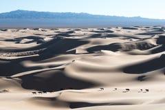 Caballos del desierto de Gobi que caminan en las dunas de arena foto de archivo