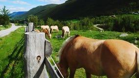 Caballos del fiordo que pastan en prado en la ladera metrajes