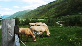 Caballos del fiordo que pastan en prado en la ladera almacen de video