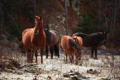 Caballos del invierno Foto de archivo libre de regalías