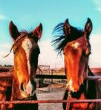 Caballos del rancho Foto de archivo