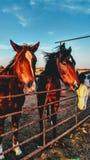 Caballos del rancho Fotos de archivo libres de regalías