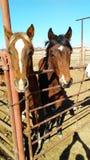 Caballos del rancho Foto de archivo libre de regalías
