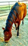 Caballos del rancho Fotografía de archivo