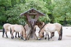Caballos del ` s de Przewalski, caballos salvajes asiáticos que alimentan en parque zoológico Foto de archivo libre de regalías