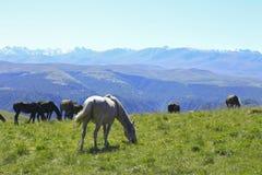 Caballos en Autumn Caucasus Meadow Imagenes de archivo