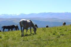 Caballos en Autumn Caucasus Meadow foto de archivo libre de regalías
