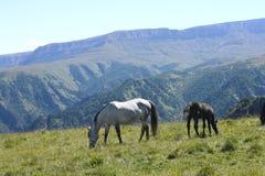 Caballos en Autumn Caucasus Meadow imagen de archivo libre de regalías