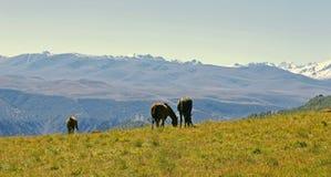 Caballos en Autumn Caucasus Meadow Fotos de archivo libres de regalías