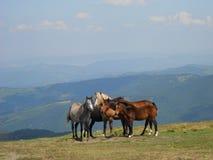 Caballos en canto de la montaña Fotografía de archivo libre de regalías