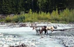 Caballos en el agujero de riego en el río de la montaña Imagen de archivo libre de regalías
