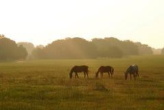 Caballos en el amanecer Fotografía de archivo libre de regalías