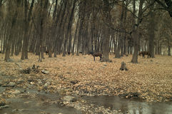 Caballos en el bosque Imagenes de archivo