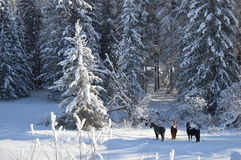 Caballos en el bosque en una mañana del invierno Imagen de archivo libre de regalías