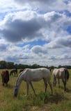 Caballos en el campo Foto de archivo libre de regalías