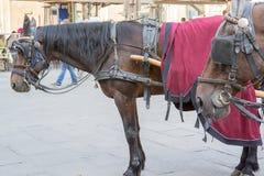 Caballos en el della Signoria de la plaza en Florencia Imágenes de archivo libres de regalías