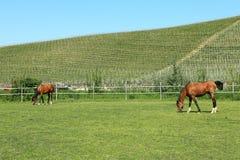 Caballos en el pasto. Piedmont, Italia. Fotos de archivo libres de regalías