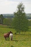 Caballos en el prado. Foto de archivo