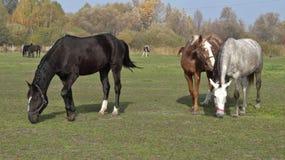 Caballos en el prado Fotografía de archivo
