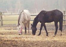 Caballos en el prado, Fotografía de archivo