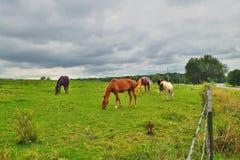 Caballos en el prado Imagen de archivo