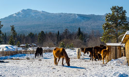 Caballos en el pueblo en las montañas de Ural Imagen de archivo libre de regalías