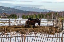 Caballos en el pueblo en las montañas de Ural Imagenes de archivo