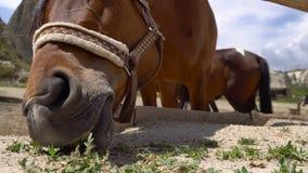 Caballos en el rancho en Cappadocia, Turquía Ciérrese encima del tiro del caballo de Brown que come la hierba detrás de la cerca almacen de metraje de vídeo