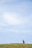 Caballos en la colina Fotografía de archivo
