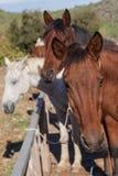 Caballos en la granja Foto de archivo libre de regalías