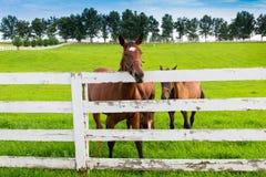 Caballos en la granja del caballo Imagen de archivo