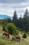 Caballos en la ladera. imagen de archivo