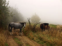 Caballos en la niebla Foto de archivo libre de regalías