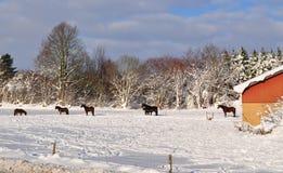 Caballos en la nieve Imágenes de archivo libres de regalías