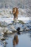 Caballos en la nieve Fotografía de archivo