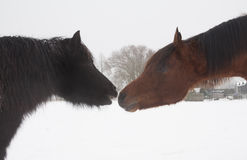 Caballos en la nieve Imagen de archivo